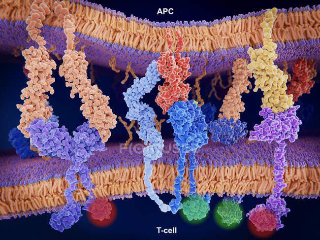 Aktive Auto-T-Zellen Krebs-Immuntherapie, medizinische Illustration. — Stockfoto