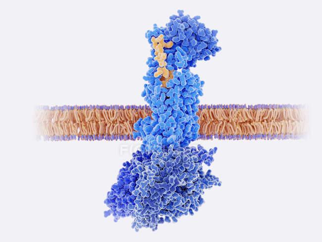 Кальцитонін пептиду прив'язуються до рецепторів, ілюстрація. — стокове фото