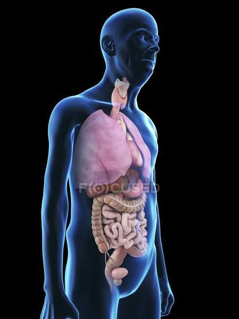Illustrazione della silhouette dell'uomo anziano con organi visibili . — Foto stock