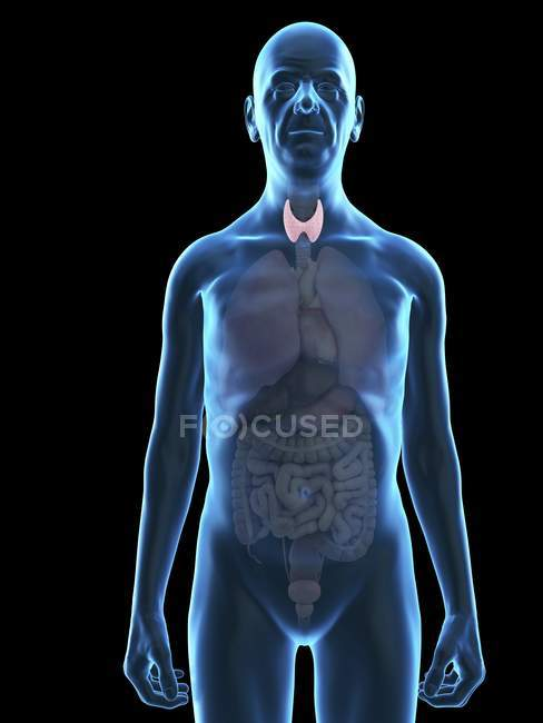 Illustration of senior man silhouette with visible thyroid gland. — Stock Photo