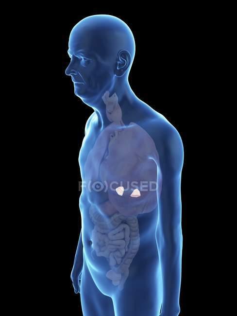Ilustración de la silueta del hombre mayor con glándulas suprarrenales visibles . - foto de stock