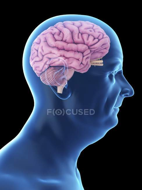 Illustration of senior man silhouette with visible brain. — Stock Photo