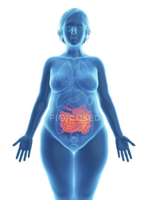 Ilustración de silueta azul de mujer obesa con el intestino delgado resaltado . - foto de stock