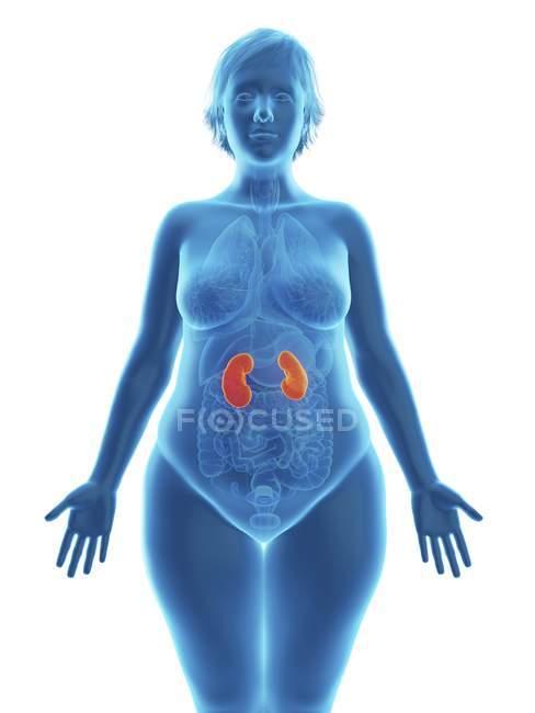 Ilustração da silhueta azul da mulher obesa com rins destacados . — Fotografia de Stock