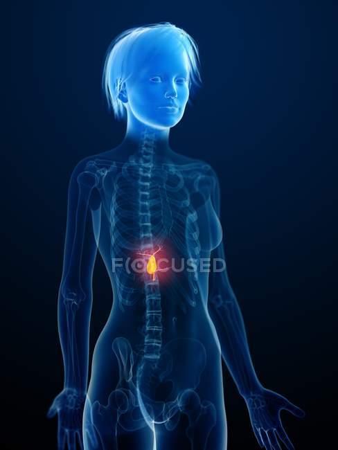 Ilustración de la silueta humana con vesícula biliar inflamada . - foto de stock