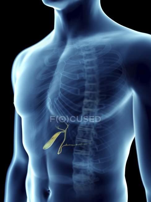 Ilustración de la vesícula biliar en silueta masculina transparente . - foto de stock
