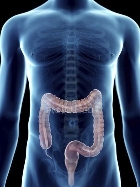 Illustrazione del colon nella silhouette maschile trasparente . — Foto stock