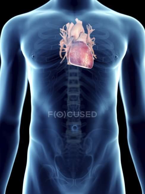 Illustrazione del cuore nella silhouette maschile trasparente . — Foto stock
