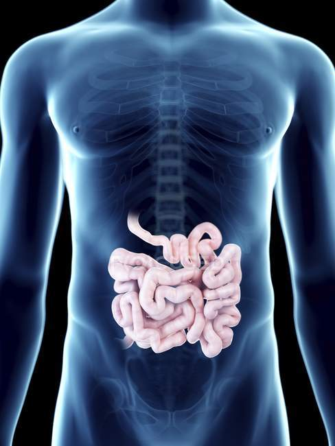 Illustration of small intestine in transparent male silhouette. — Stock Photo