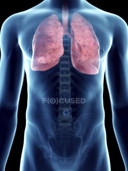 Illustrazione dei polmoni in silhouette maschile trasparente . — Foto stock