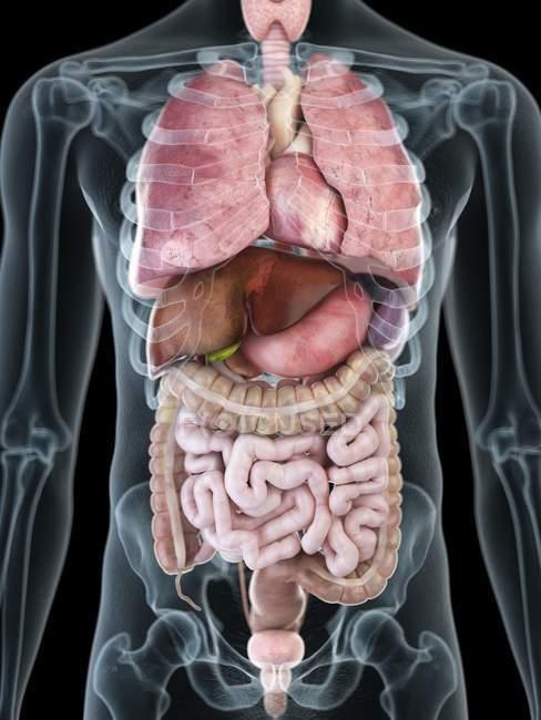 Иллюстрация внутренних органов в прозрачной мужской силуэт. — стоковое фото