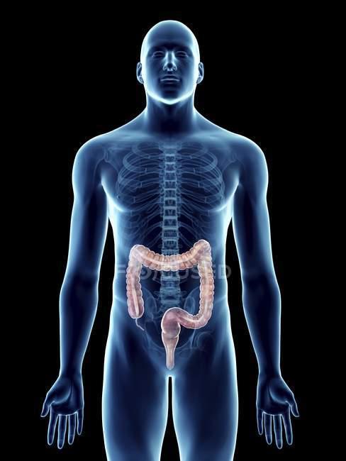 Ilustración de silueta azul transparente del cuerpo masculino con colon de color . - foto de stock