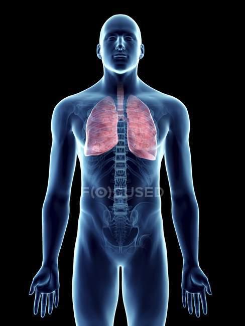 Ilustración de silueta azul transparente del cuerpo masculino con pulmones coloreados . - foto de stock