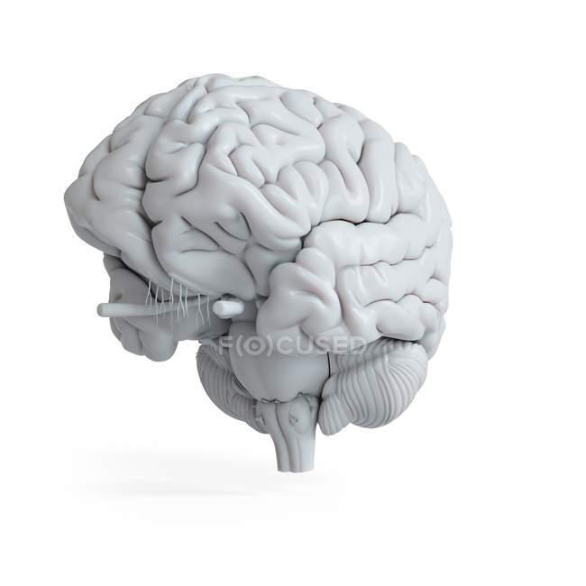 Illustration des weißen menschlichen Gehirnmodells auf schlichtem Hintergrund. — Stockfoto