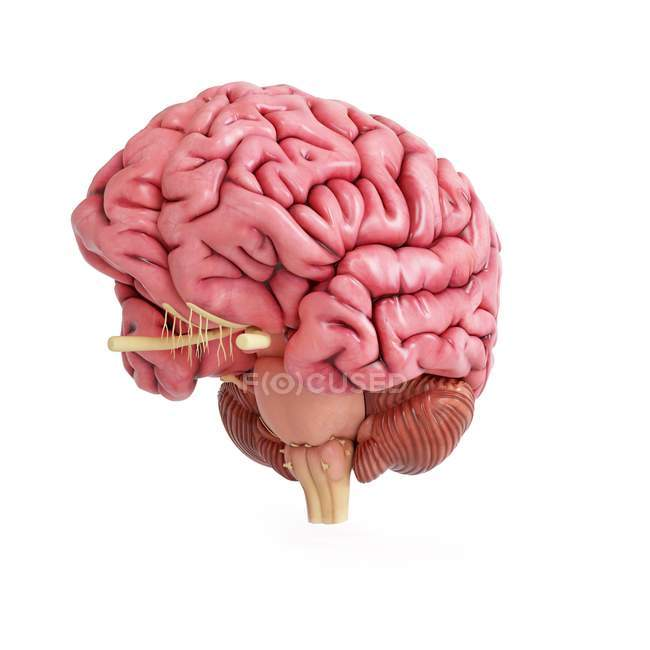 Illustration of realistic pink human brain on white background. — Stock Photo