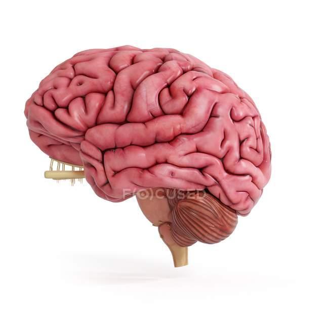 Иллюстрация реалистичного розового человеческого мозга на белом фоне . — стоковое фото