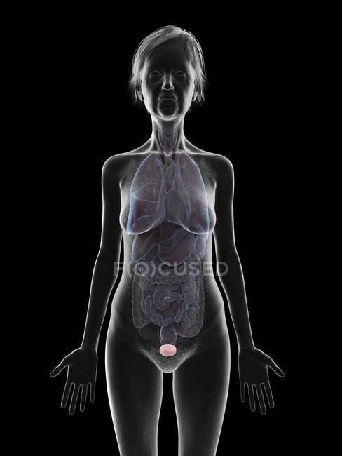 Ilustración de la silueta de la mujer mayor que muestra la vejiga sobre fondo negro . - foto de stock