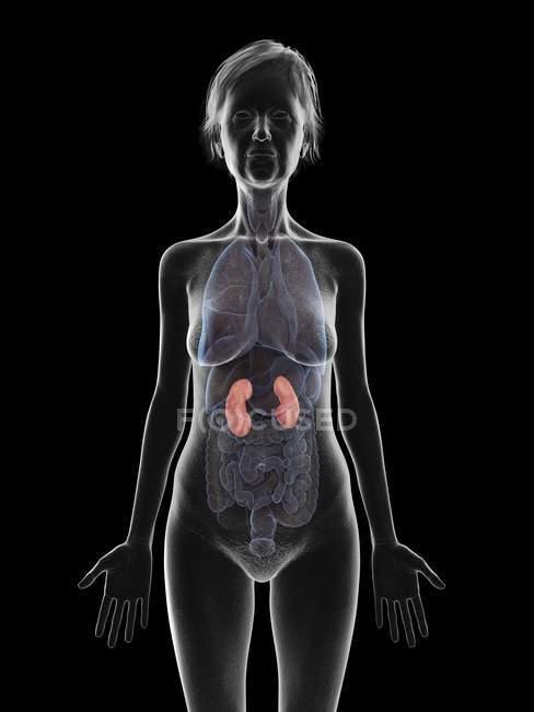 Ilustración de silueta de mujer mayor mostrando riñones sobre fondo negro . - foto de stock