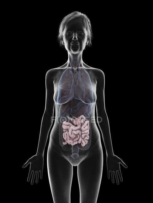 Ilustración de la silueta de la mujer mayor que muestra el intestino delgado sobre fondo negro . - foto de stock