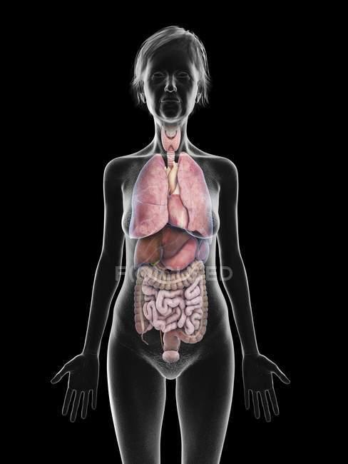 Иллюстрация силуэта пожилой женщины, показывающего органы на черном фоне . — стоковое фото