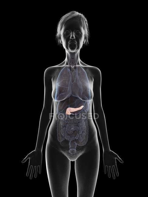 Grey silhouette of senior woman showing pancreas in body, illustration. — Stock Photo