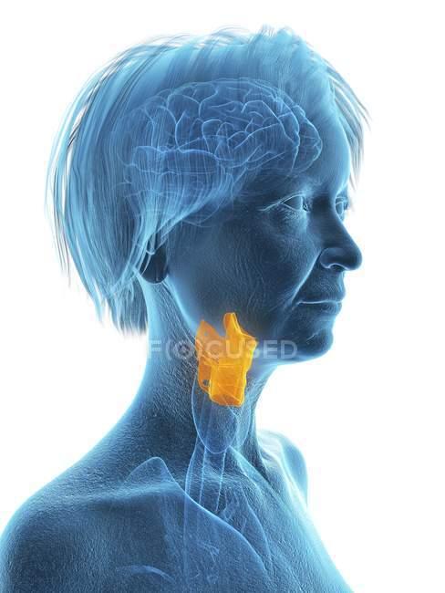 Ilustración de mujer mayor silueta azul con laringe resaltada sobre fondo blanco . - foto de stock