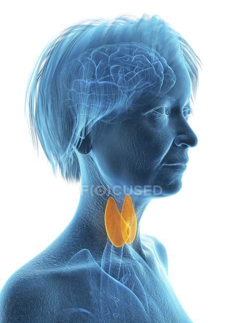 Silhouette bleue de la silhouette de la femme âgée avec la glande thyroïde surlignée, illustration . — Photo de stock