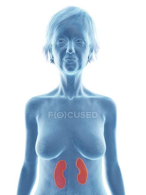 Ilustración de la mujer mayor silueta azul con los riñones resaltados sobre fondo blanco . - foto de stock