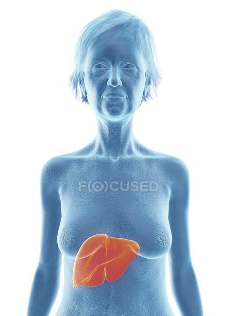 Ilustración de la mujer mayor silueta azul con el hígado resaltado sobre fondo blanco . - foto de stock