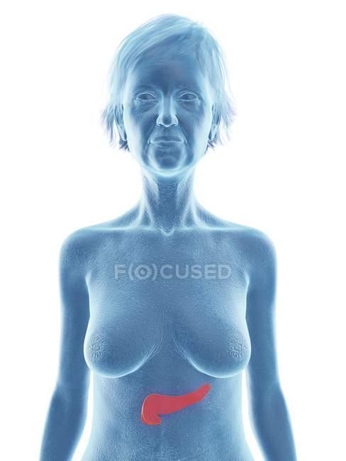 Синий силуэт пожилой женщины, показывающий поджелудочную железу в теле . — стоковое фото