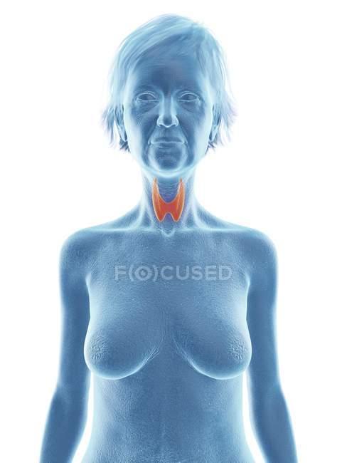 Silueta azul de silueta de mujer mayor con glándula tiroides resaltada . - foto de stock