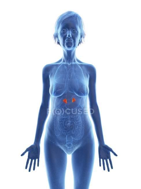 Ilustración de silueta de mujer mayor con glándulas suprarrenales de color sobre fondo blanco . - foto de stock