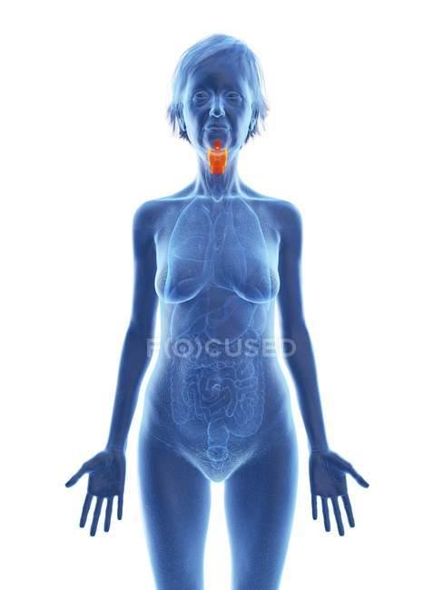 Ilustración de silueta de mujer mayor con laringe de color sobre fondo blanco . - foto de stock
