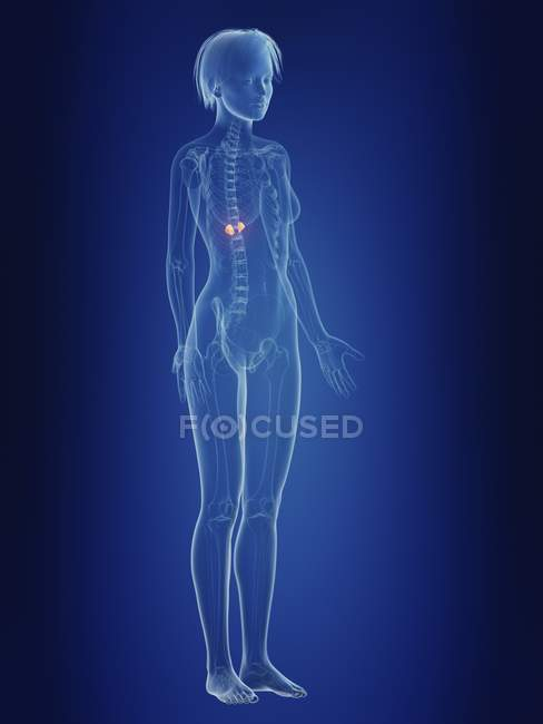 Иллюстрация женский силуэт с болезненным надпочечников. — стоковое фото