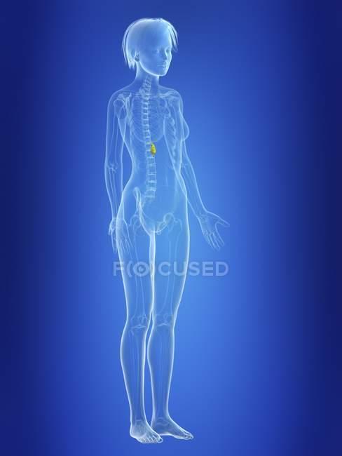 Ilustración de la vesícula biliar en silueta del cuerpo femenino . - foto de stock