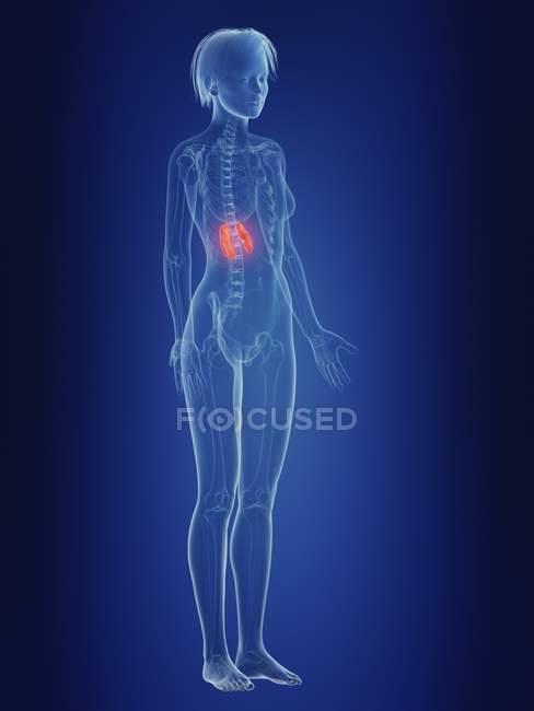 Ilustração da silhueta feminina com rins dolorosos . — Fotografia de Stock