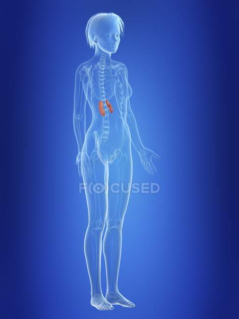 Ilustração de rins em silhueta de corpo feminino . — Fotografia de Stock