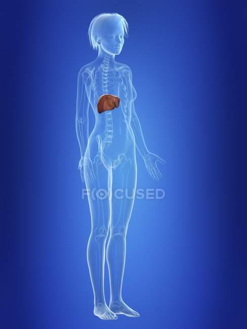 Ilustración del hígado en silueta del cuerpo femenino . - foto de stock