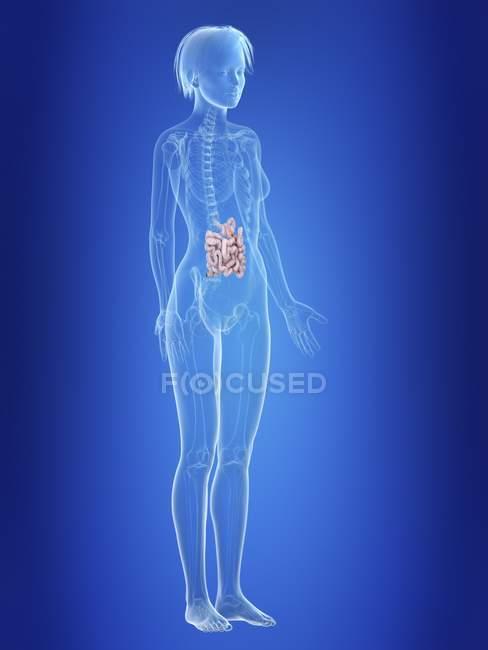 Ilustración del intestino delgado en silueta del cuerpo femenino . - foto de stock