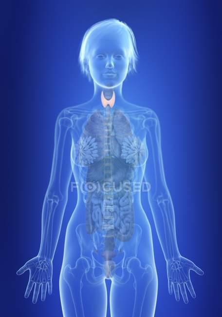 Illustrazione della ghiandola tiroidea nella silhouette del corpo femminile . — Foto stock