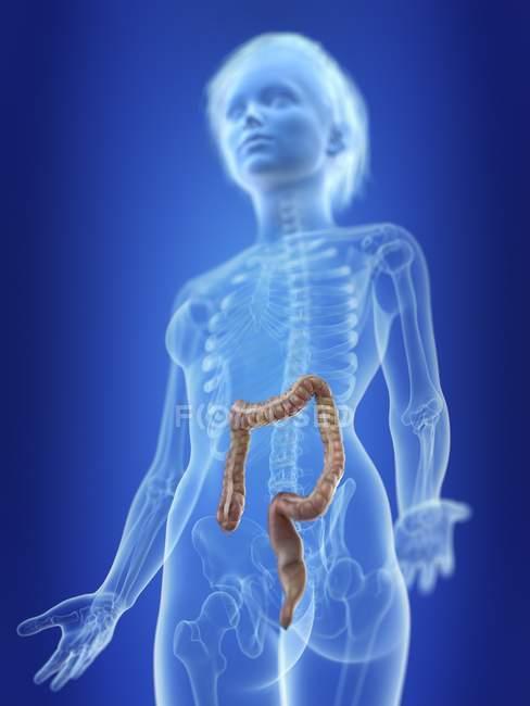 Ilustración de colon en silueta del cuerpo femenino . - foto de stock