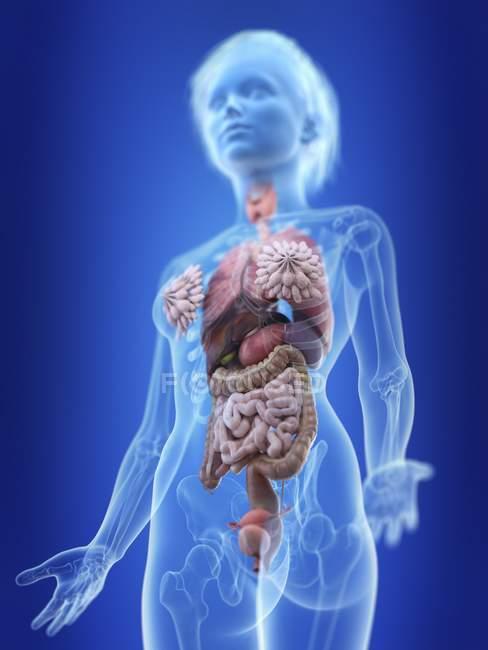 Иллюстрация женский силуэт с показано анатомии. — стоковое фото