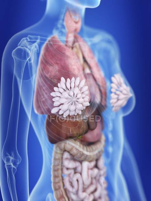 Ilustración de silueta femenina con glándulas mamarias destacadas . - foto de stock