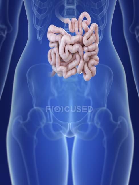 Ilustración de silueta femenina con el intestino delgado resaltado . - foto de stock