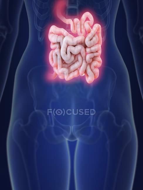 Ilustración de la silueta humana con el intestino delgado inflamado . - foto de stock