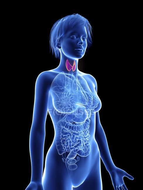 Illustration de la silhouette féminine avec surbrillance de la glande thyroïde . — Photo de stock