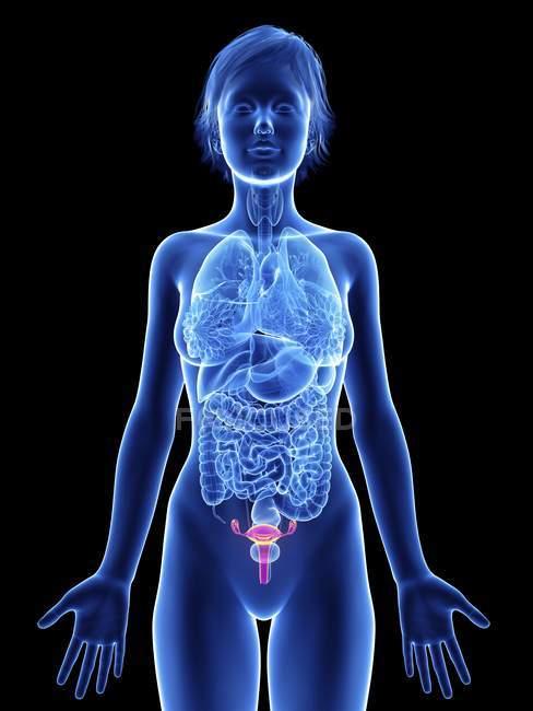 Illustration de la silhouette féminine avec utérus surligné . — Photo de stock