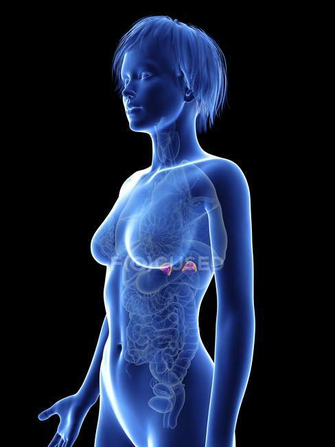 Illustration of female silhouette with highlighted adrenal glands. — Stock Photo