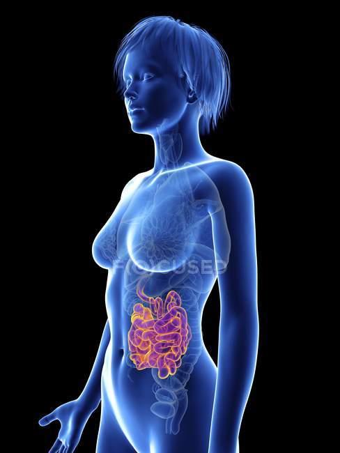 Illustration de la silhouette féminine avec un intestin grêle surligné . — Photo de stock