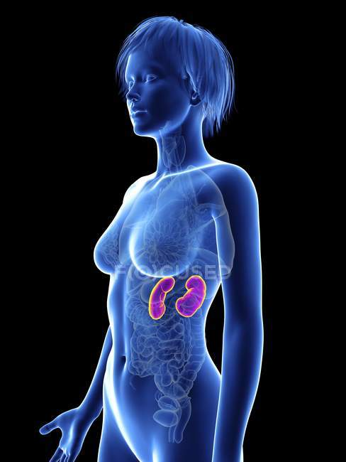 Ilustración de silueta femenina con riñones resaltados . - foto de stock